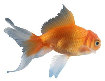 Pets And Plants Goldfish