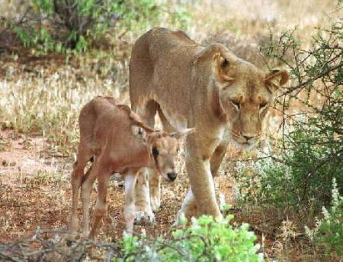 adult lion and young antelope